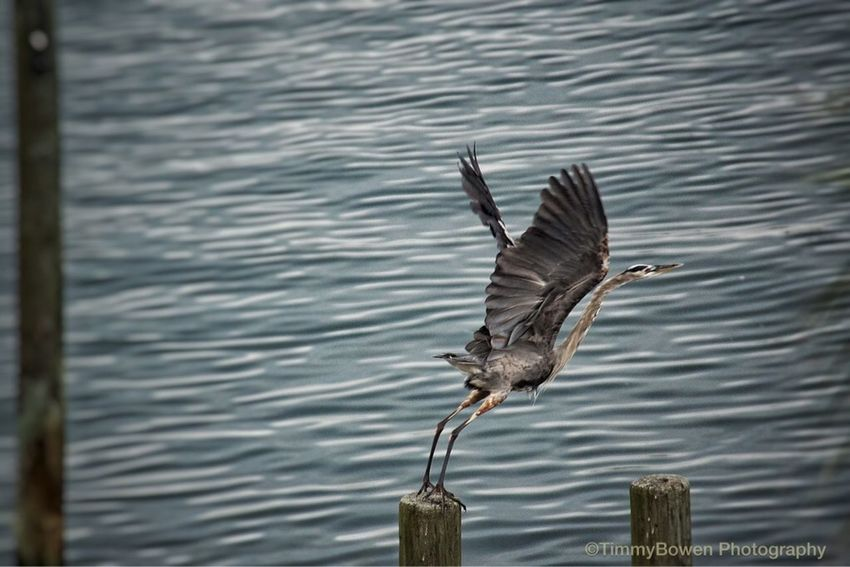 Bird taking flight Check This Out Relaxing Taking Photos Enjoying Life Hi! Hello World Hanging Out Vacation Time Vaction Summer Sony A6000 Sonyphotography Florida Life Florida Clear Water Ocean Ocean Life Ocean View Bird Bird Photography Bird In Flight