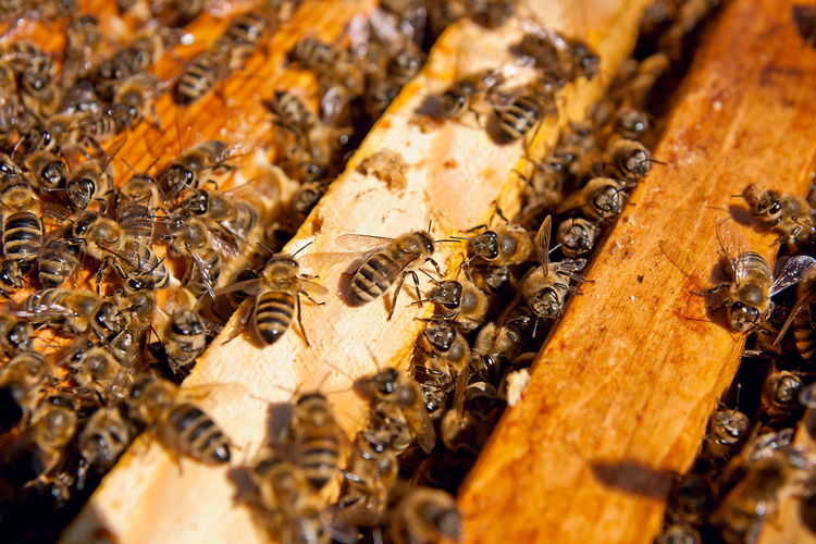 Animal Animal Themes Animal Wildlife Animals In The Wild APIculture Beauty In Nature Bee Beehive Brown Close-up Group Of Animals Honey Bee Honeycomb Insect Invertebrate Large Group Of Animals Nature No People Selective Focus Wood - Material