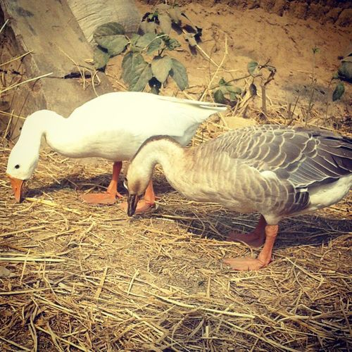 Swan Instaswan Instaupdate Instaday Good Morning Pic_of_the_day Instashare Village .