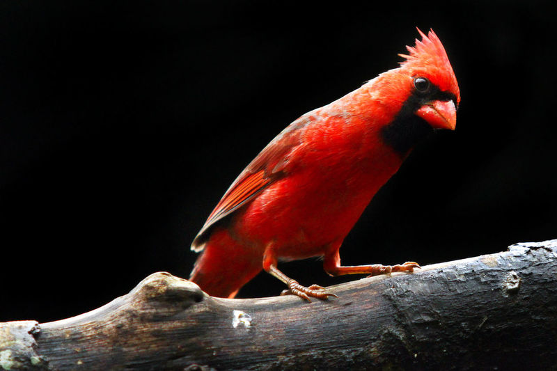 beauty an angry bird American Bird Angrybirds Animal Cartoon Animal Themes Animal Wildlife Animals In The Wild Beauty Bird Black Background Cardinal Cardinal Birds Close-up Full Length No People One Animal Outdoors Perching Red