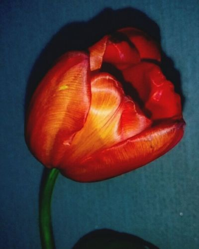 Red Flower No People Close-up Tulip Fragility Beauty In Nature Nature Indoors  Freshness Day