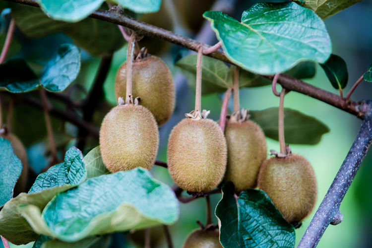 Close-up of kiwi fruits on tree