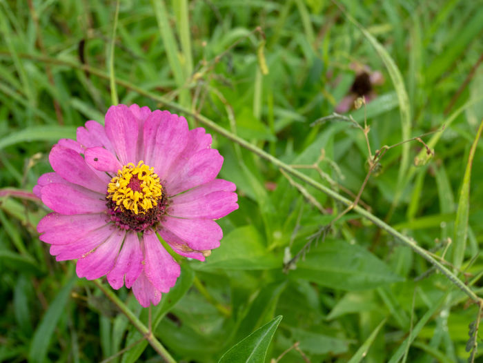 Close-up of pink flower on field