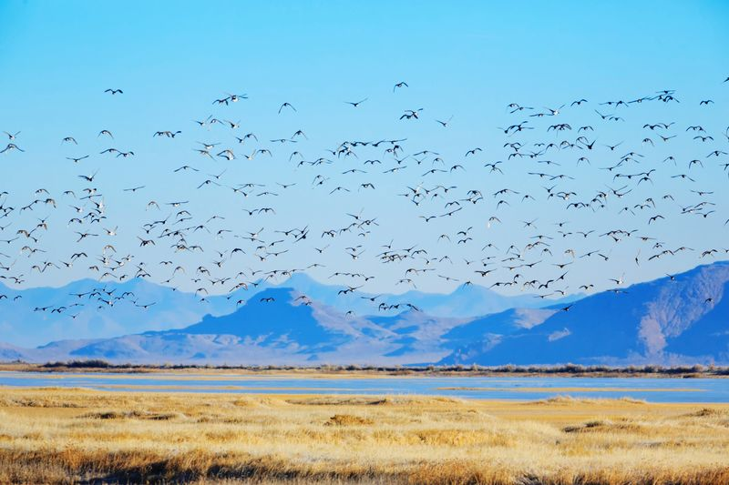 Migration Wildlife Refuge Beauty In Nature Rural Scene Animal Themes Birds Animals In The Wild Beautiful Nature Fish Springs National Wildlife Refuge Utah No People The Great Outdoors - 2017 EyeEm Awards Scenic View Migrating Birds Animals In The Wild Large Group Of Animals Flock Of Birds Flock Of Ducks Ducks Flying