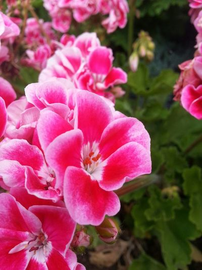 Studying Flowers Blooming Geranium
