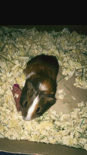 Baby Guinea pig. One Animal Mammal Domestic Animals Guinea Pig pets