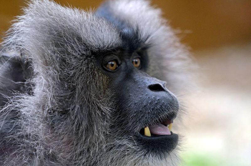 Apes, Monkey,