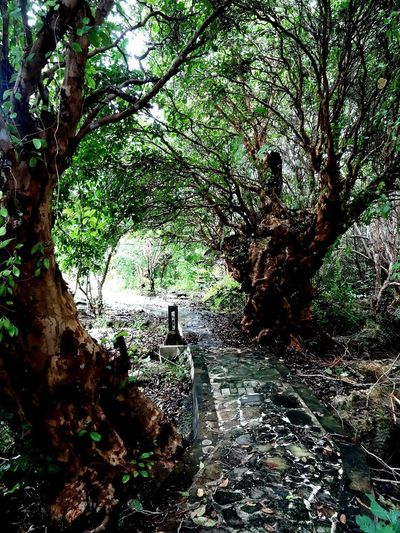 Old mangrove trees in beautyfull Hoga Island, Wakatobi Tree Growth Beauty In Nature Outdoors Naturephotography Plants Green Color Pedestrian Walkway Greenlife Oldtrees Mangrove Forests Hogaisland