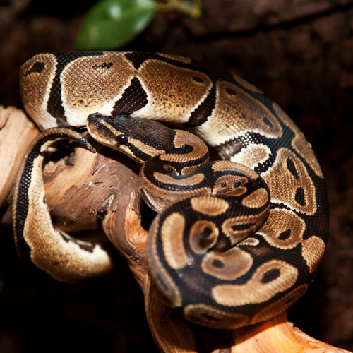 Close-up of ball python on branch