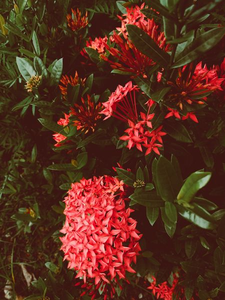 Flower Growth Freshness Beauty In Nature Fragility Nature Petal Ixora Plant No People Blooming Leaf Red Flower Head Day Outdoors Close-up Zinnia  Mobilephotography Eyeembangladesh @anickchowdhurymp EyeEmNewHere