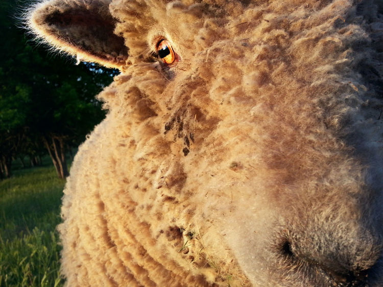 Close to Bob at last light Animal Themes Close-up Day Eye Farm Life Grass Mammal Nature No People One Animal Outdoors Sheep