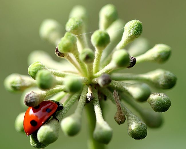 Ladybird Ladybug Close-up Insect Plant Invertebrate Flowering Plant Flower Ladybug Day Fragility Animal Wildlife Nature Animal Beauty In Nature Focus On Foreground Animals In The Wild Animal Themes One Animal No People Green Color Growth