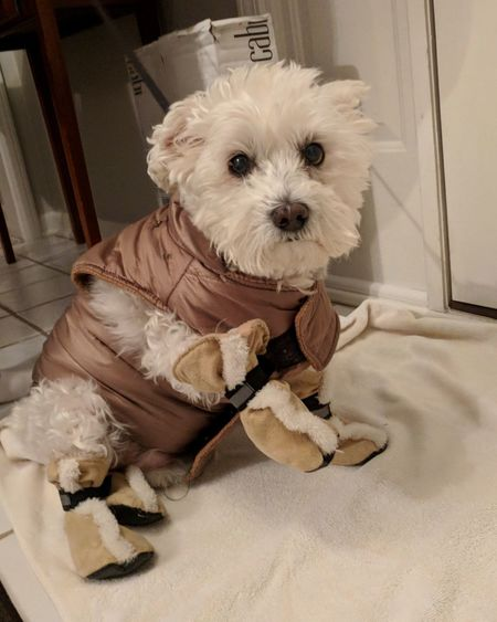 A DOG BUNDLED UP IN A JACKET AND BOOTS Beauty In Nature Winter Cold Weather Dog Coat Dog Boots Schnoodle Puppy Canine EyeEm Selects Dog Pets Animal Sitting Domestic Animals Mammal One Animal Cute Pet Clothing Animal Themes Portrait Indoors  No People Day