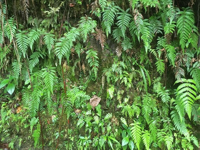 Dominican Republic Beauty In Nature Close-up Day Fern Forest Fragility Freshness Green Color Growth Leaf Lush - Description Lush Foliage Nature No People Outdoors Plant Scenics Tranquil Scene Tranquility Tree