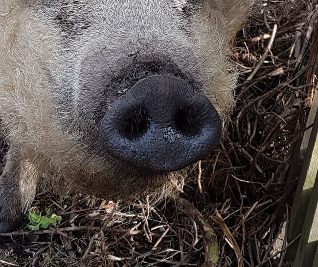 One Animal Animal Themes Animals In The Wild Domestic Animals Pig Pork Swine Agriculture Animal Nose Pig Nose Nose Noses Animal Photography Pork Nose Swine Nose Cover Background Piggy Farming Pig Face Pig Farm