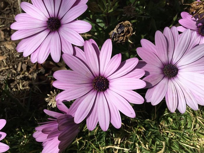 Flowering Plant Flower Plant Growth Freshness Petal Inflorescence Fragility Flower Head Vulnerability  Beauty In Nature Osteospermum Nature Pollen Close-up No People Pink Color Day Purple Park