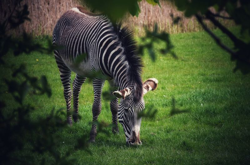 Zoo Zebra Zebra Crossing Animal Animal Themes Animals In The Wild Animal Wildlife One Animal Vertebrate Grass Green Color Plant Animal Markings Outdoors Field Focus On Foreground Day Mammal Sunlight No People Nature Land Striped