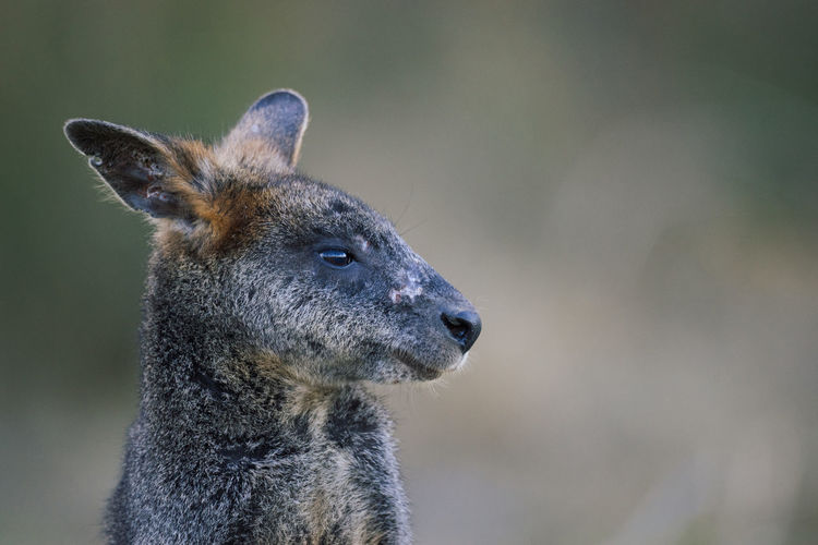 Portrait of a swamp wallaby kangaroo