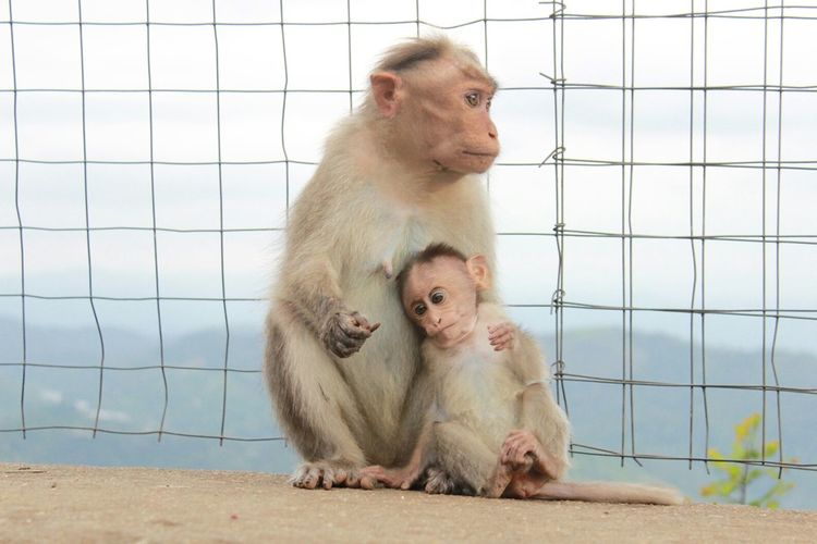 Monkey With Infant By Fence Against Sky