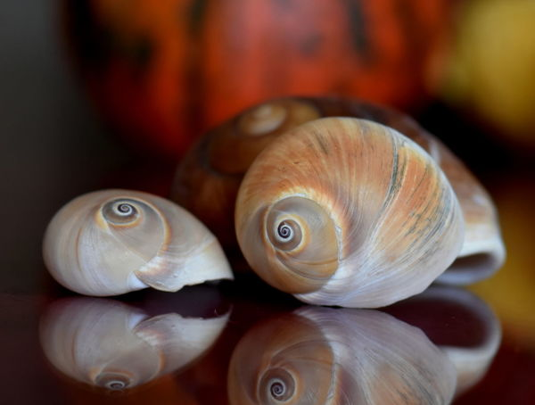 Snail Shells Animal Themes Close-up Day Focus On Foreground Food Indoors  Nature No People