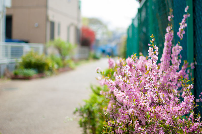 Flowers in Tokyo, Japan. Spring is very good season to visit Japan to see the beautiful flowers. Plant Flower Flowering Plant Day Beauty In Nature Nature Focus On Foreground Selective Focus Architecture Building Exterior No People Freshness Growth Outdoors Built Structure Close-up Pink Color City Purple Vulnerability  Flower Arrangement Bouquet Ornamental Garden