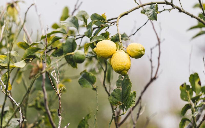 Close-up of lemons growing on tree
