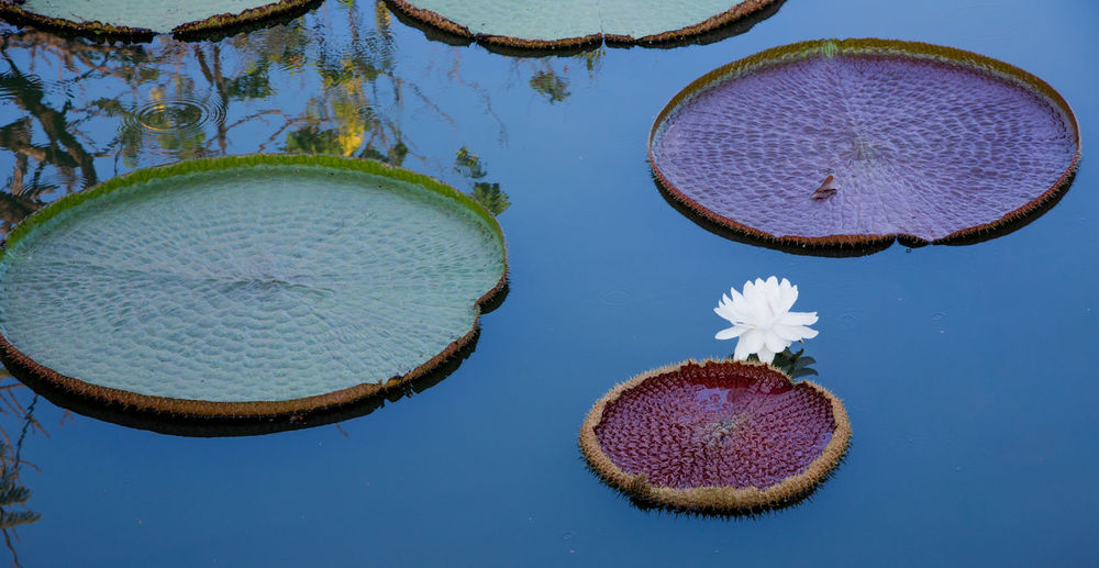 High angle view of water lily and leaves in lake