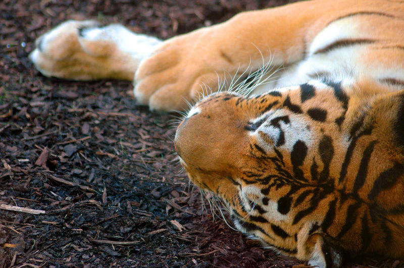 Close-Up Of Tiger Lying On Field
