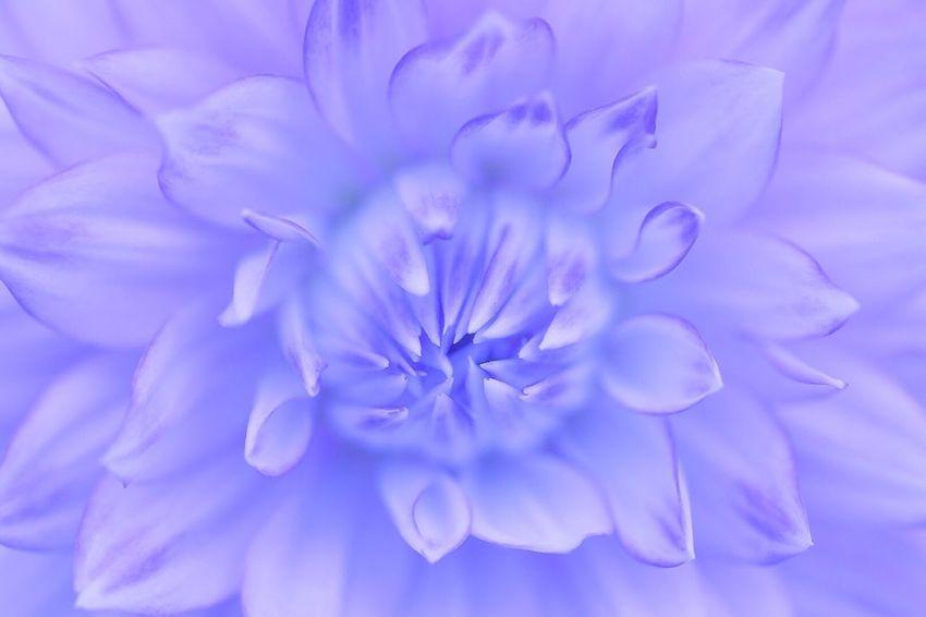 気品を纏って Flower Petal Beauty In Nature Freshness Nature Fragility Flower Head Full Frame Close-up No People Backgrounds Day Outdoors