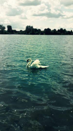 Swan Enjoying Nature Bird Photography Mobile Photography
