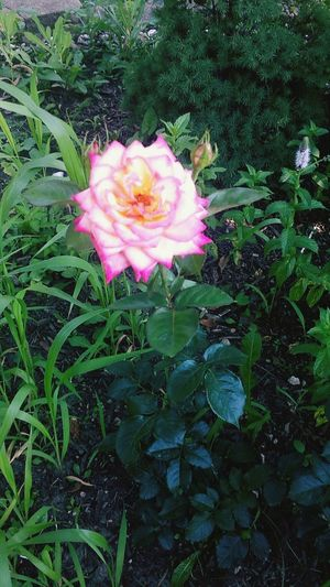 It finally bloomed (: Gardening Mixed Rose Beauty