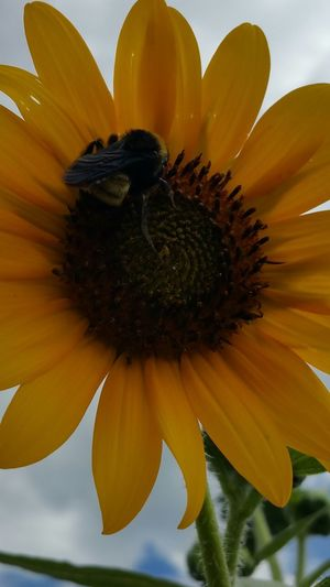 My Best Photo 2015 Bright Yellow Sunflower Bumble Bee