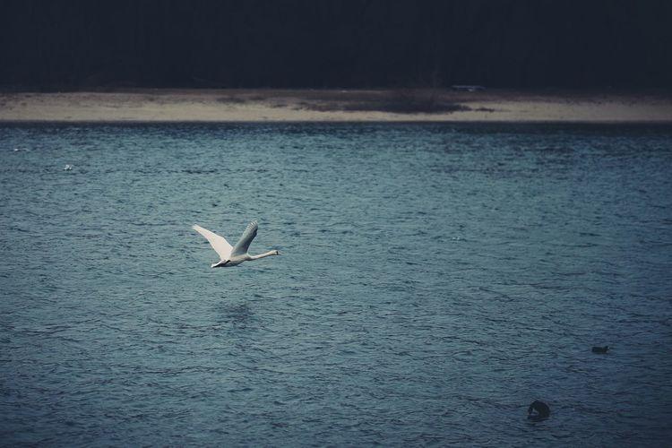 Fly swan fly. Eye4photography  EyeEm Best Edits Shootermag EyeEm Best Shots Nature Landscape Eyem Best Shots