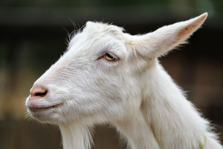 Close-up of goat looking away