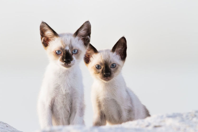 Close-Up Portrait Of Wild Cats Against White Background