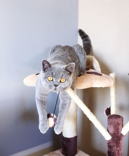 Cat Tree British Shorthair