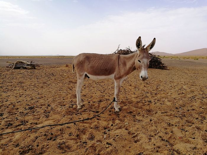 donkey at Sahara desert Soonjourney MyWanderLust Africa Morocco Sahara Desert Sand Dune Desert Arid Climate Sand Full Length Sky Animal Themes Farmland Countryside Safari Animals