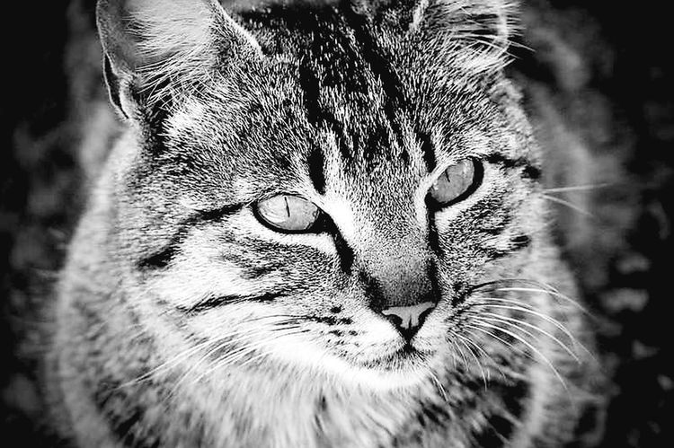 One Animal Feline Animal Head  Mammal Close-up Domestic Cat Whisker Portrait Animal Themes Domestic Animals No People Leopard Nature Day Pets Outdoors