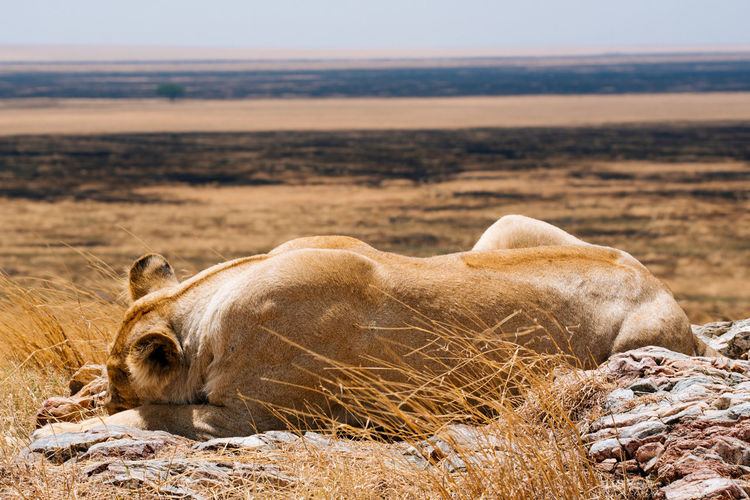 Lion sleeping on field during sunny day
