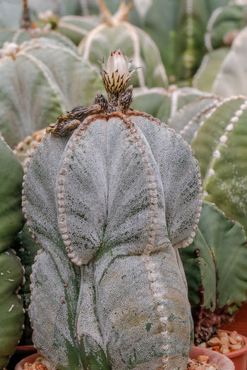 Bishop's cap cactus .Astrophytum myriostigma is one of the largest in the cactus family Cactus Cactus Flower Cactus Garden Cactuslover Succulent Plant Succulent Flower Close Up Houseplants Houseplant Flower Houseplants Of EyeEm Decoretion Decore Spines On Leaf Design Spiked Thorn