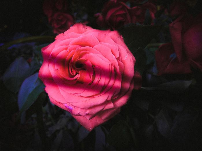 Flower Lover Flower Pic Flower Shot Flower Photography Flower Head Flower Rose - Flower Petal Pink Color Close-up