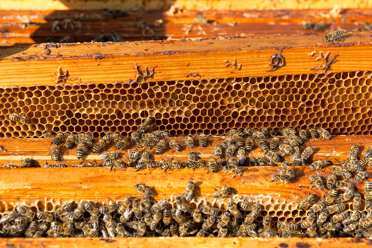 Animal Animal Behavior Animal Themes Animal Wildlife Animals In The Wild APIculture Beauty In Nature Bee Beehive Colony Day Food Group Of Animals Herd Insect Invertebrate Large Group Of Animals Mammal Nature No People Sunlight