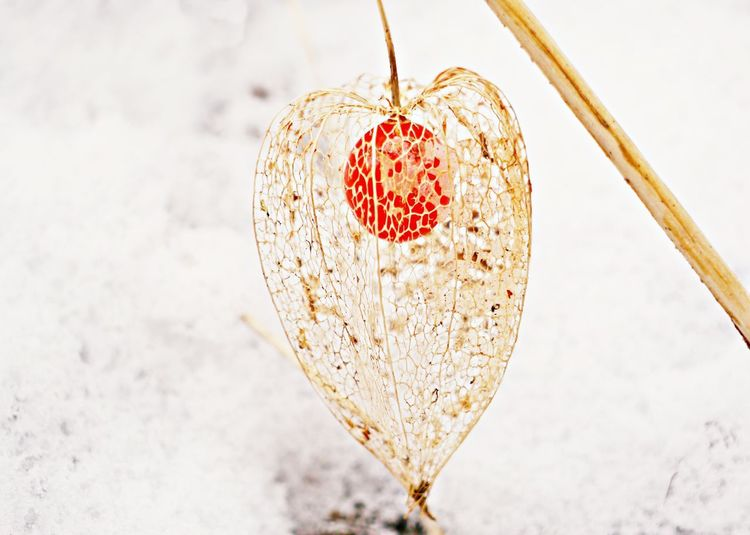 Winter Close-up Cold Temperature Day Food Food And Drink Fragility In Nature Freshness Fruit Gooseberry Fruit Heart Shape Nature No People Outdoors Snow Sweet Food