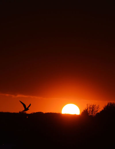 Silhouette of bird flying in sky during sunset