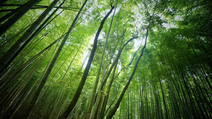 Forest Green Greenery Green Kyoto Japan Photography Japan Tree Plant Green Color Growth Beauty In Nature Low Angle View Bamboo - Plant Forest Bamboo Grove Bamboo Tranquility No People Tall - High Lush Foliage Nature