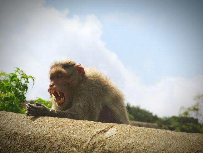 Nature Monkey Hello World Yawning Yawning Monkey Praying Animal Photography Animals In The Wild Animals Monkey King Monkey Face Breaktime Prayer Prayertime