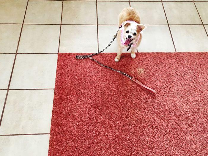 High angle portrait of dog on tiled floor