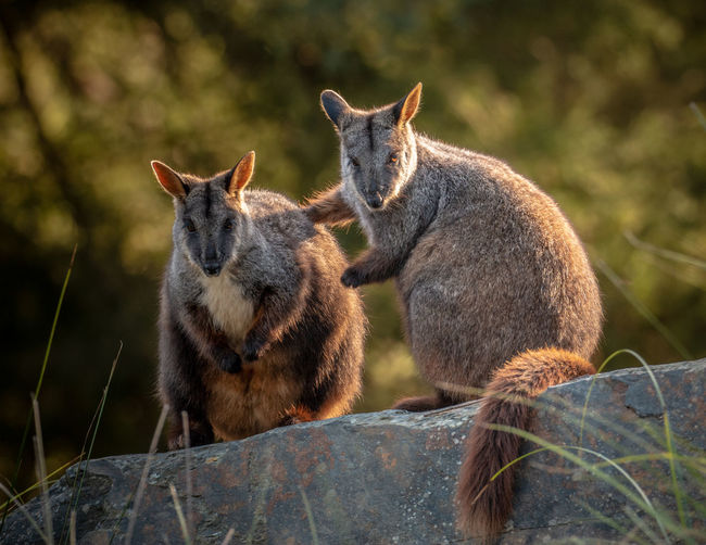 Get by with little help from my friends Group Of Animals Mammal Two Animals Nature Animal Wildlife Focus On Foreground Animals In The Wild Togetherness Sitting Plant Day No People Vertebrate Land Outdoors Tree Love Positive Emotion Care Animal Family Rock-wallaby Hugging A Tree Jason Gines Wallaby