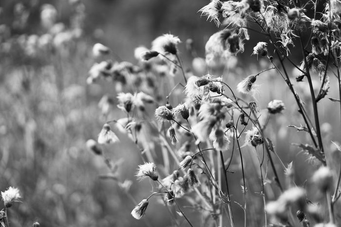 dead flowers Flower Fragility Faded Dead Rotten Close-up Tranquility Beauty In Nature Lucky's Monochrome Monochrome Monochrome Photography Black And White Black & White Emptiness Autumn Nature Melancholy Eye4photography  Mood Lucky's Mood Lucky's Memories Beautifully Organized Shootermag EyeEm Gallery Photography