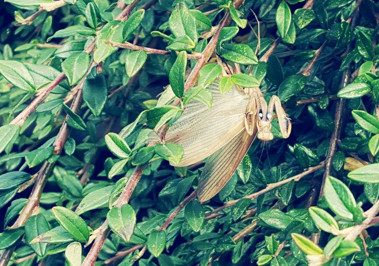 On a walk, a Preying Mantis flew infront of me, landing in this bush. KimberlyJTilley